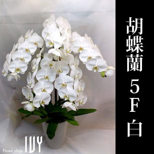 渋谷OR005 胡蝶蘭 5F 白