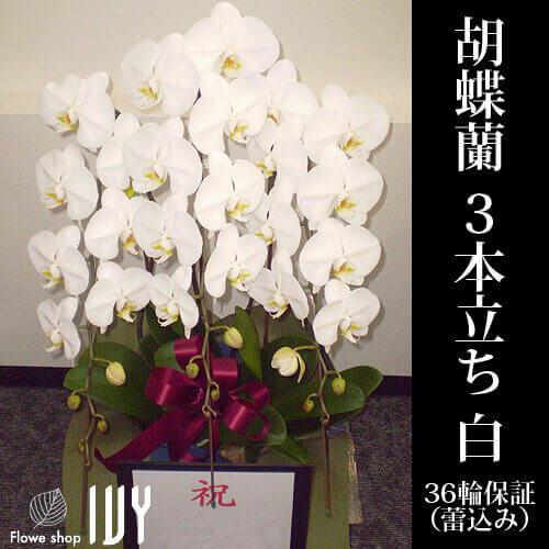 渋谷OR007 胡蝶蘭 3本立36輪保証(蕾込み) 白