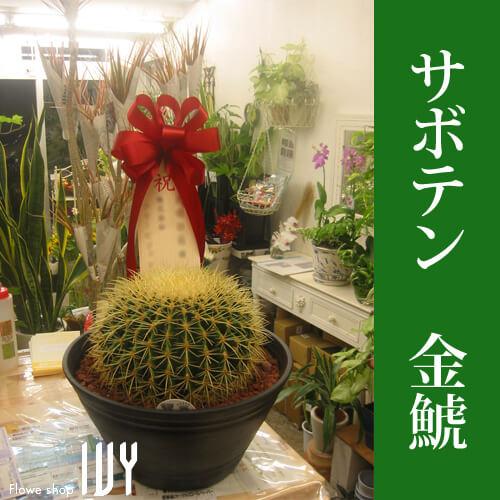 【配達無料回収無料】サボテン 金鯱   新宿花屋IVY