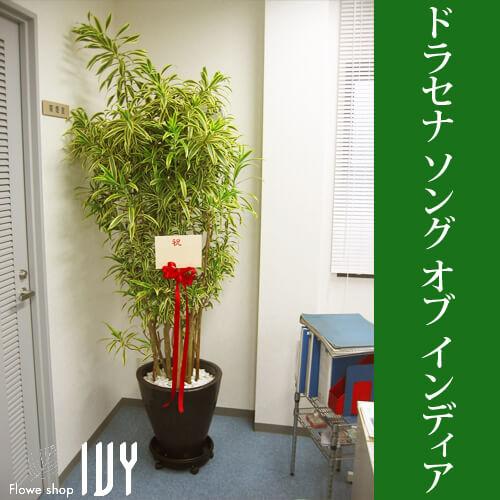 【配達無料回収無料】ドラセナ・ソングオブインディア   新宿花屋IVY