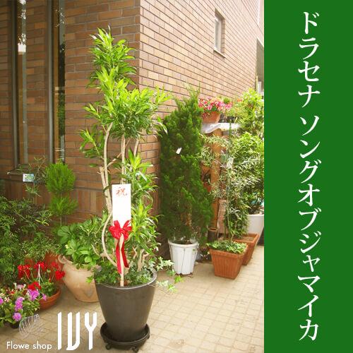 【配達無料回収無料】ドラセナ・ソングオブジャマイカ   新宿花屋IVY